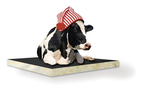 cow_on-mattress